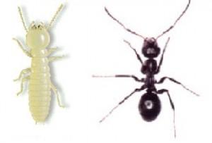 Termita hormiga obreras